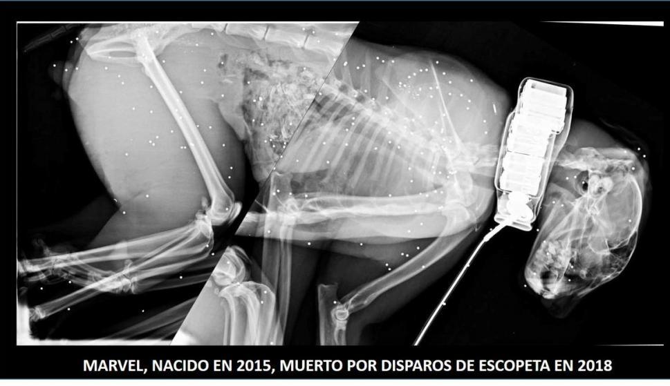 Radiografía que muestra los plomos en el cadáver de 'Marvel'
