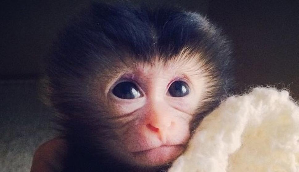 Los macacos sí tienen la anatomía para hablar ¡pero les falla el ...