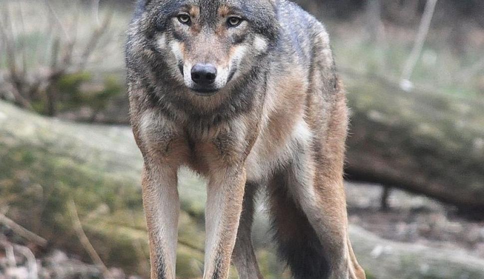 Los Lobos Vuelven A Dinamarca Después De Su Desaparición Hace 200