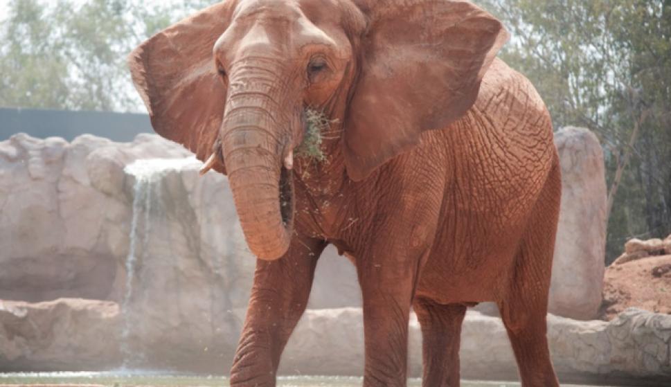 Los elefantes africanos son los mamíferos que menos horas duermen al ...