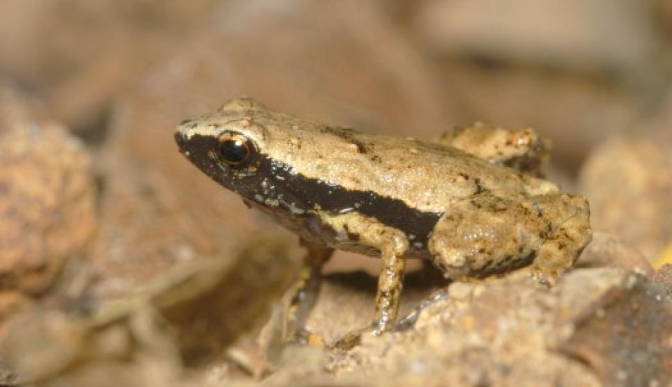 La rana sin oídos que oye por la boca - Ciencia y Tecnología ...
