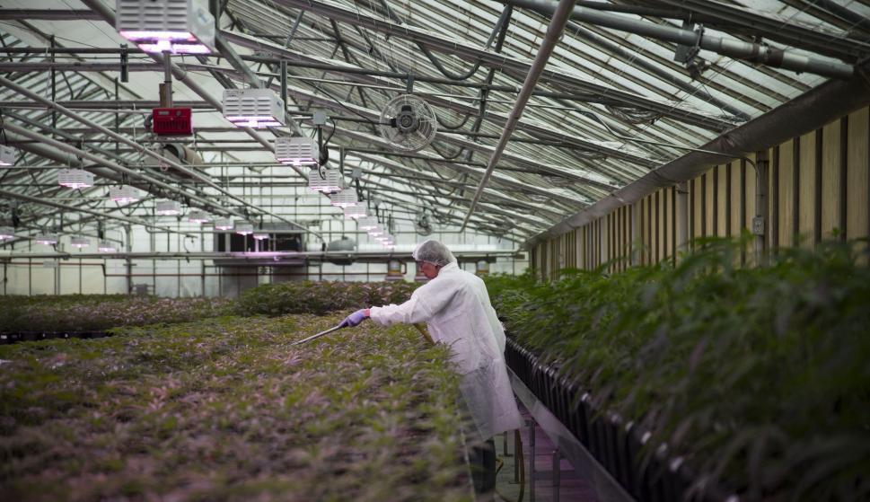 Plantación de la compañía canadiense Aphria. / Aphria