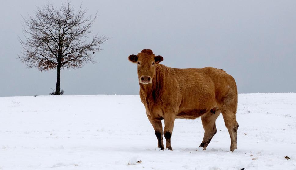 Un toro en un campo en Cadavo-Baleira (Lugo) nevado tras el paso de la borrasca Helena.EFE/ Eliseo Trigo