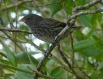 Fotografía del pinzón de las Galápagos.