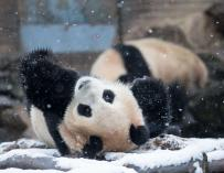 This photo taken on January 21, 2016 shows a panda