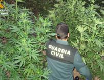 Operación contra el cultivo de cannabis.